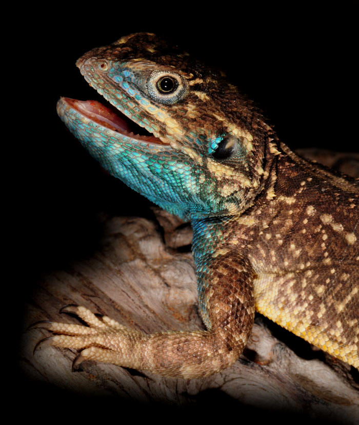 Xenagama wilmsi - recently described new species from the Horn of Africa.